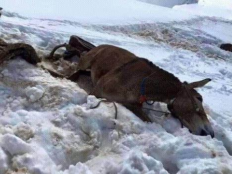 06 mule in snow