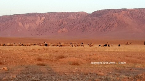 Sheep graze on the north side of Mount Sinjar, Iraq, July 2015