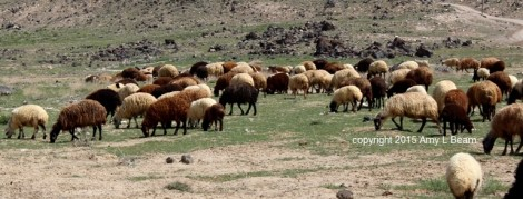 Every flock of sheep has its own distinctive colorings and characteristics.